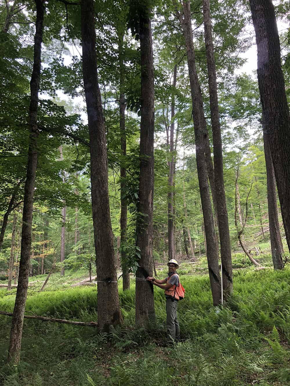 Dr. Jason Kilgore measures a tree trunk to collect data.